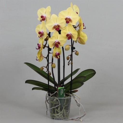 Phalaenopsis GOLDION (Leerdam Orchideeën)