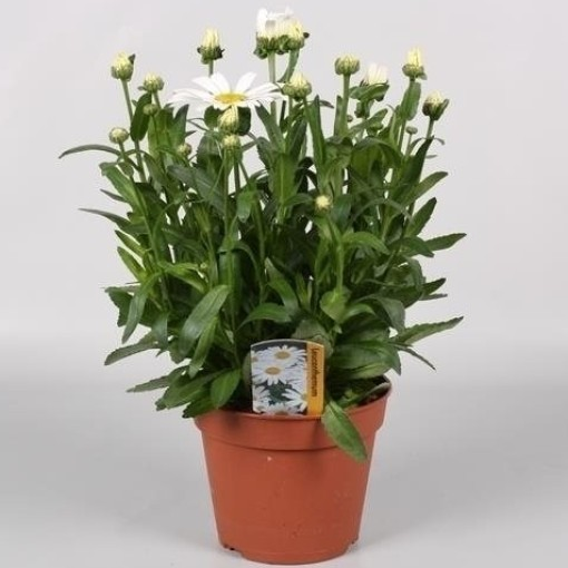 Leucanthemum x superbum 'Snow Lady' (Endhoven Flowering Plants)