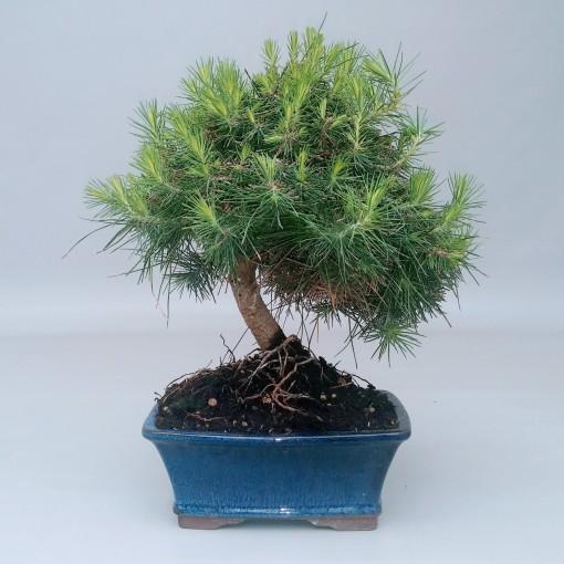 Pinus halepensis (Trendy Bonsai BV)