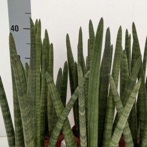 Sansevieria cylindrica 'Wave' (RuBa Baers)