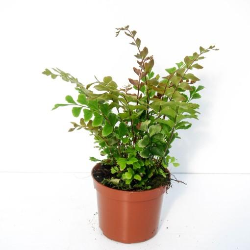 Didymochlaena truncatula (Ruhé Varens B.V.)