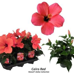 Hibiscus rosa-sinensis 'Cairo Red'