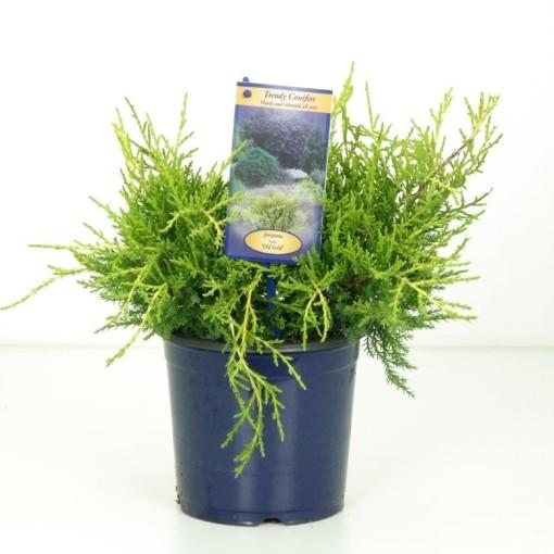 Juniperus x pfitzeriana 'Old Gold' (Kwekerij Vredebest)