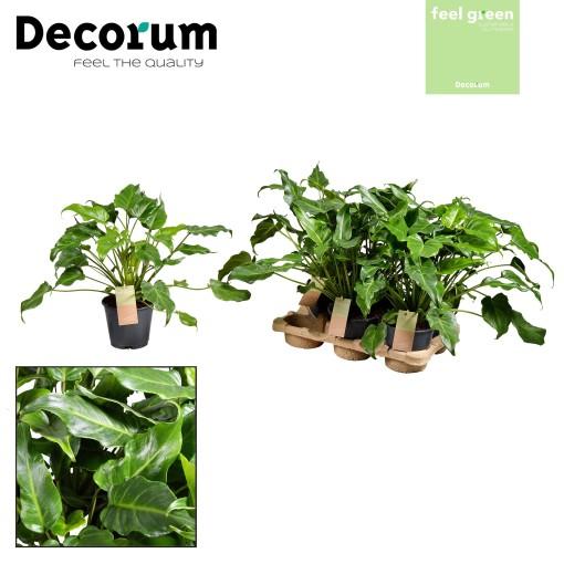 Philodendron xanadu (JoGrow B.V.)