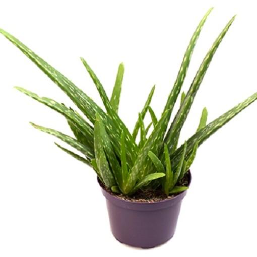 Aloe vera (Gasa DK)