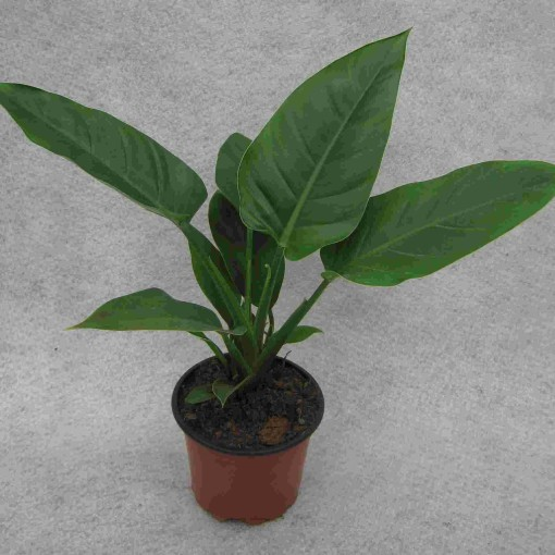 Philodendron 'Imperial Green' (Gasa DK)