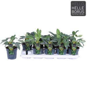 Helleborus lividus 'Green Marble' (Hoogeveen Plants)