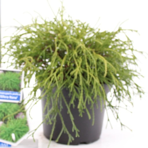 Chamaecyparis pisifera 'Filifera Nana' (About Plants Zundert BV)