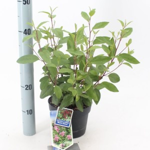 Ceanothus x pallidus 'Marie Simon' (About Plants Zundert BV)