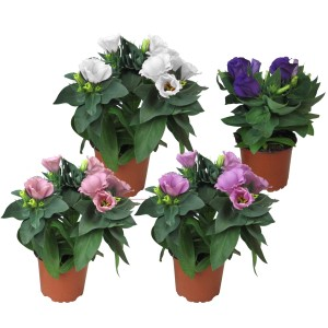 Eustoma grandiflorum MIX