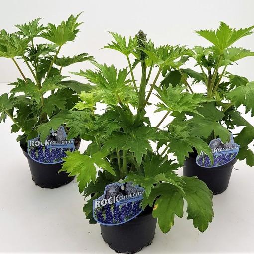 Delphinium elatum (Experts in Green)