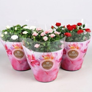 Rosa FAVOURITE ROSES MIX