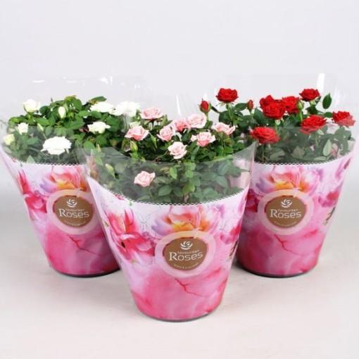 Rosa FAVOURITE ROSES MIX (Vireõ Plant Sales)