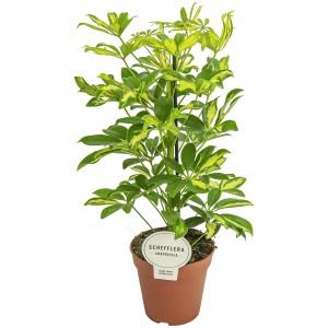 Schefflera arboricola 'Gerda'