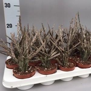 Euphorbia platyclada (van der Hoorn Succulenten)