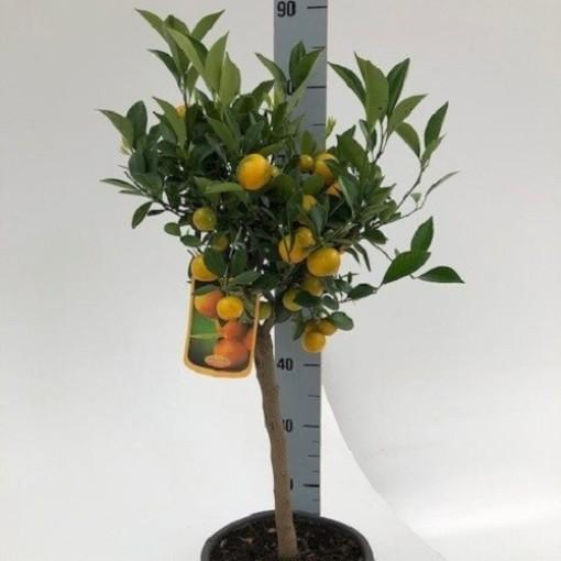 Citrus x microcarpa (Green Collect Sales)