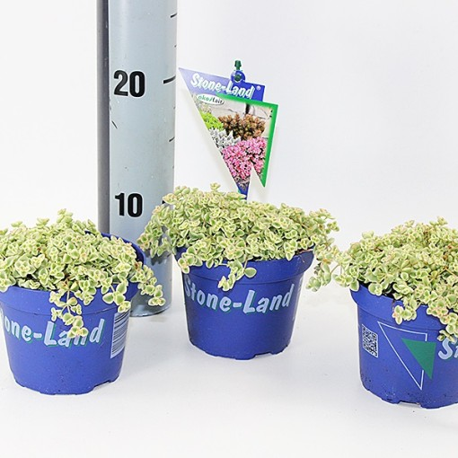 Sedum 'Little Missy' (Experts in Green)