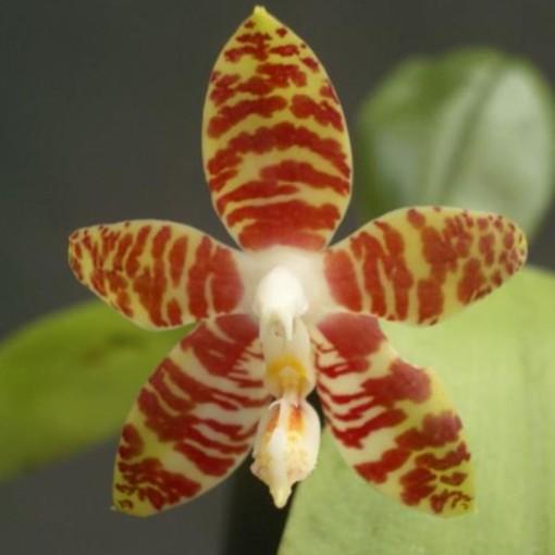 Phalaenopsis amboinensis (Wichmann Orchideen e.K.)