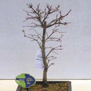 Acer palmatum 'Deshôjô'