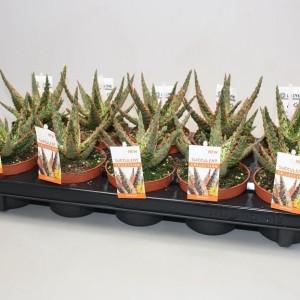 Aloe zebrina 'Dannyz' (Ubink)