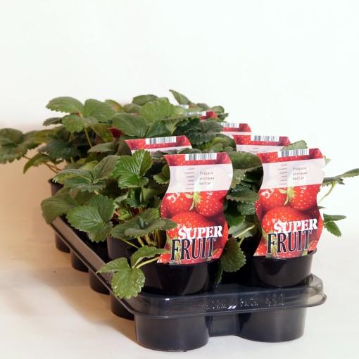 Fragaria x ananassa MIX (BOGREEN Outdoor Plants)