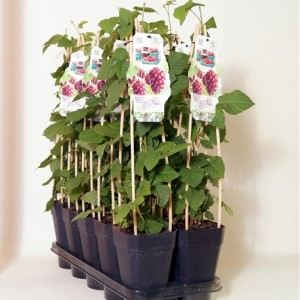 Rubus 'Tayberry' (BOGREEN Outdoor Plants)