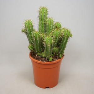 Euphorbia fruticosa 'Inermis'