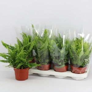 Ferns MIX (Amstelzicht BV)