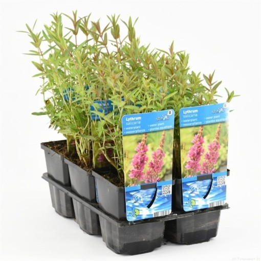 Lythrum salicaria (Moerings Waterplanten)