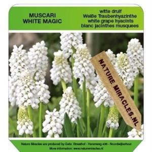 Muscari 'White Magic' (Gebr. Straathof)