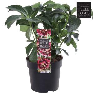 Helleborus orientalis 'Double Ellen Red'