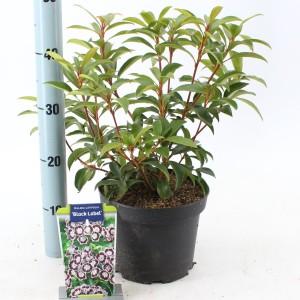 Kalmia latifolia 'Black Label'