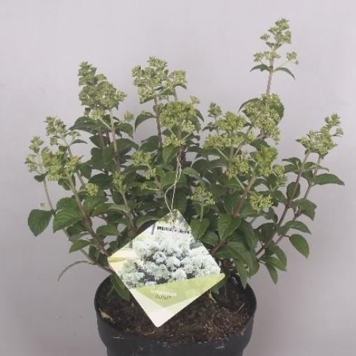 Hydrangea paniculata BOBO (Jesper Mathot Potcultures)