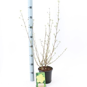 Pavonia praemorsa (About Plants Zundert BV)
