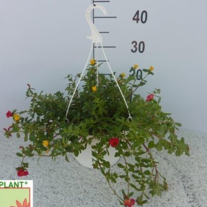 Portulaca MIX IN POT (Experts in Green)