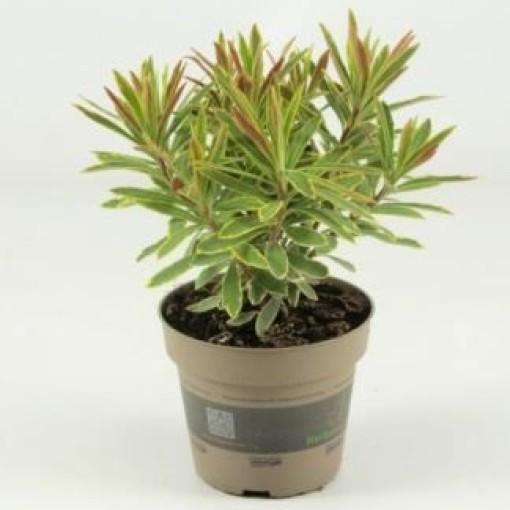 Euphorbia x martinii 'Ascot Rainbow' (Experts in Green)