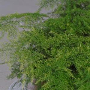 Asparagus setaceus (JoGrow B.V.)