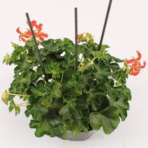 Pelargonium 'Decora Red' (Bas van der Wilt)