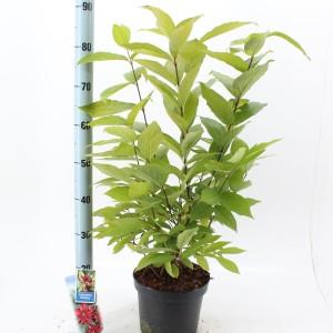 Calycanthus floridus (About Plants Zundert BV)