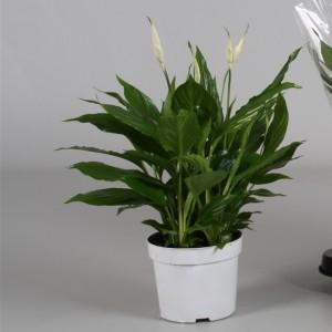 Spathiphyllum 'Bellini'