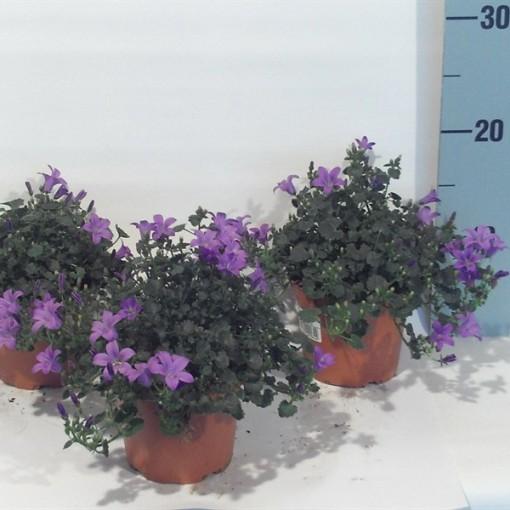 Campanula portenschlagiana (Dehne Topfpflanzen)