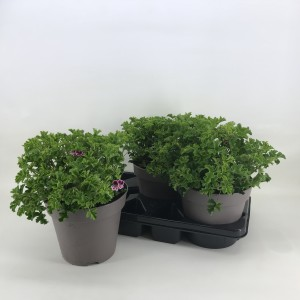 Pelargonium ANGELEYES MIX
