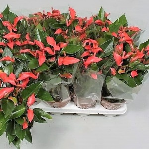Anthurium 'Flamingo Petit'