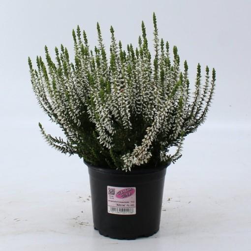 Calluna vulgaris GARDEN GIRLS ALICIA (About Plants Zundert BV)
