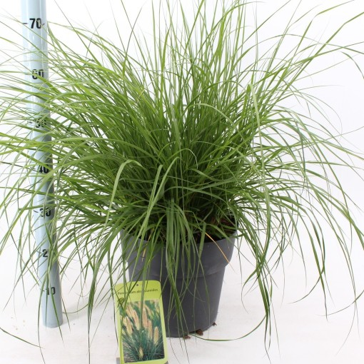 Pennisetum alopecuroides (About Plants Zundert BV)