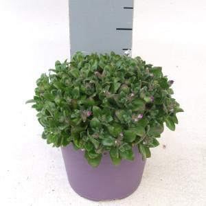 Aubrieta gracilis 'Kitte' (Kwekerij Scholte)
