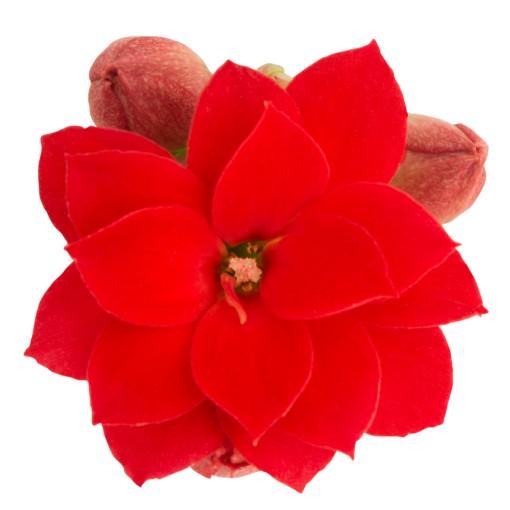 Kalanchoe blossfeldiana ROSE FLOWERS GABRIELLE (Queen - Knud Jepsen a/s)