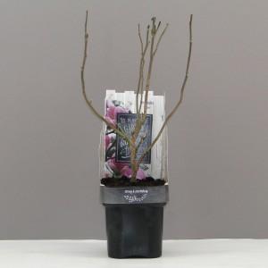 Magnolia 'Susan' (Hooftman boomkwekerij)