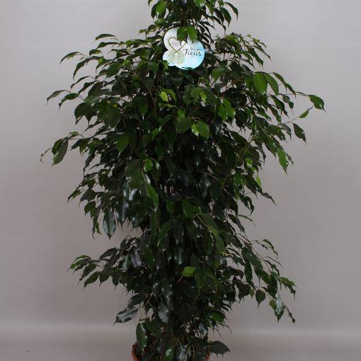 Ficus benjamina 'Danielle' (Peeters Potplanten)