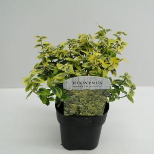 Euonymus fortunei 'Emerald 'n' Gold' (Hooftman boomkwekerij)